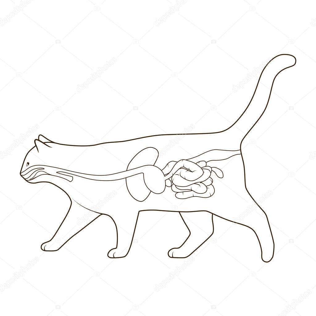 Sistema digestivo de la ilustración de vector de gato — Archivo ...