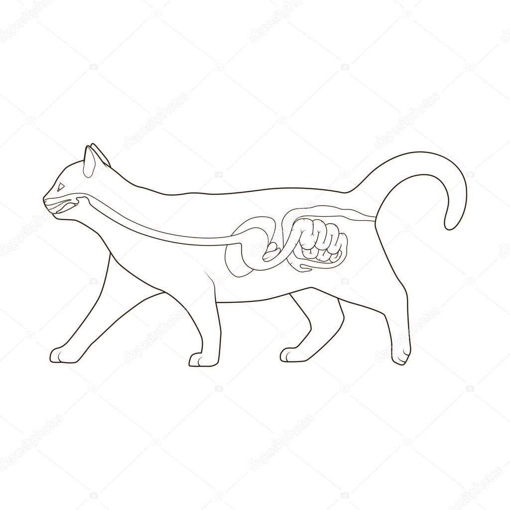 Sistema digestivo de la ilustración de vector de gato — Vector de ...