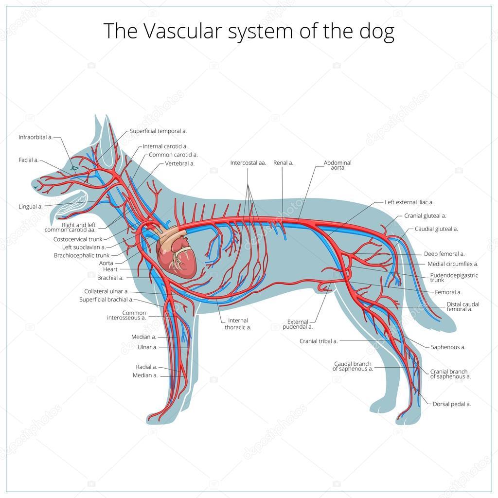 Sistema vascular de la ilustración de vector de perro — Vector de ...