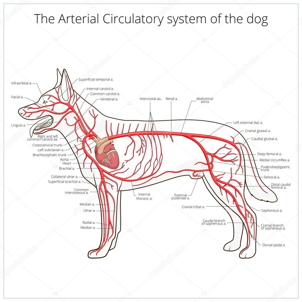 Sistema circulatorio arterial del vector perro — Archivo Imágenes ...