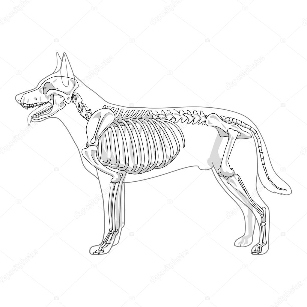 ilustraci u00f3n de vector de veterinaria esqueleto de perro