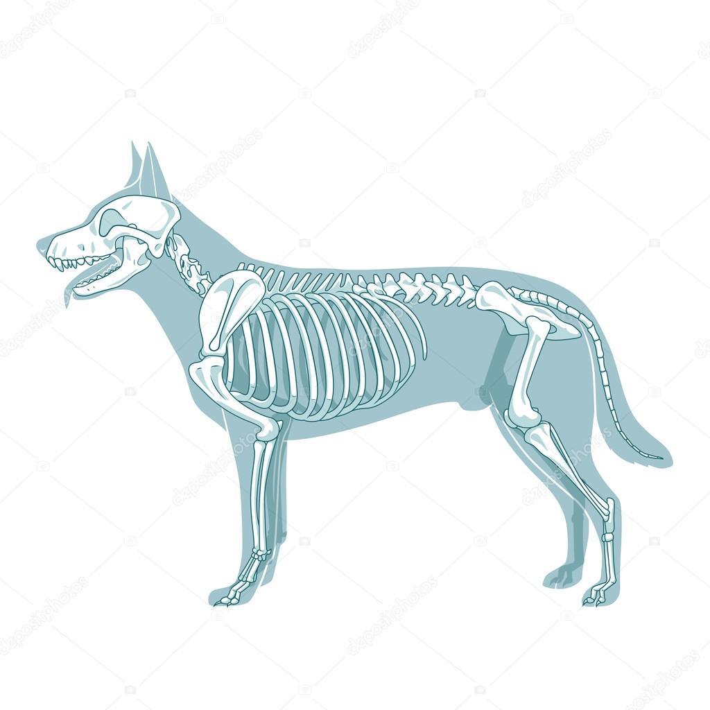 Ilustración de vector de veterinaria esqueleto de perro — Vector de ...
