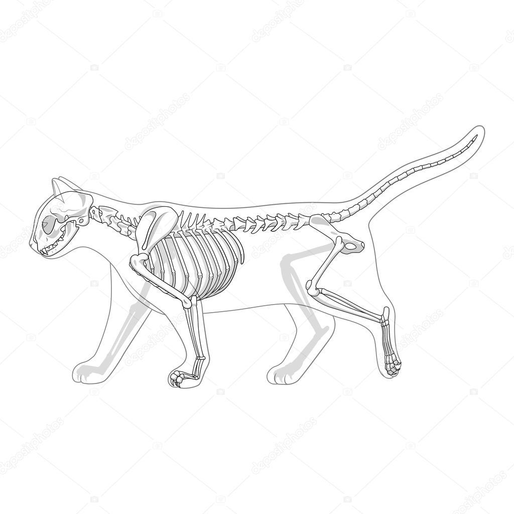 Ilustración de vector de veterinaria esqueleto de gato — Vector de ...