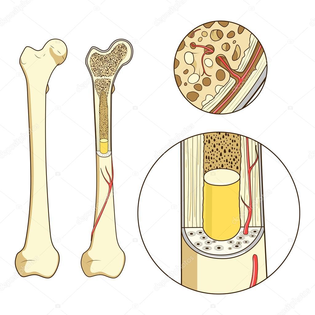 Knochen-Struktur medizinische Bildungs-Vektor — Stockvektor ...