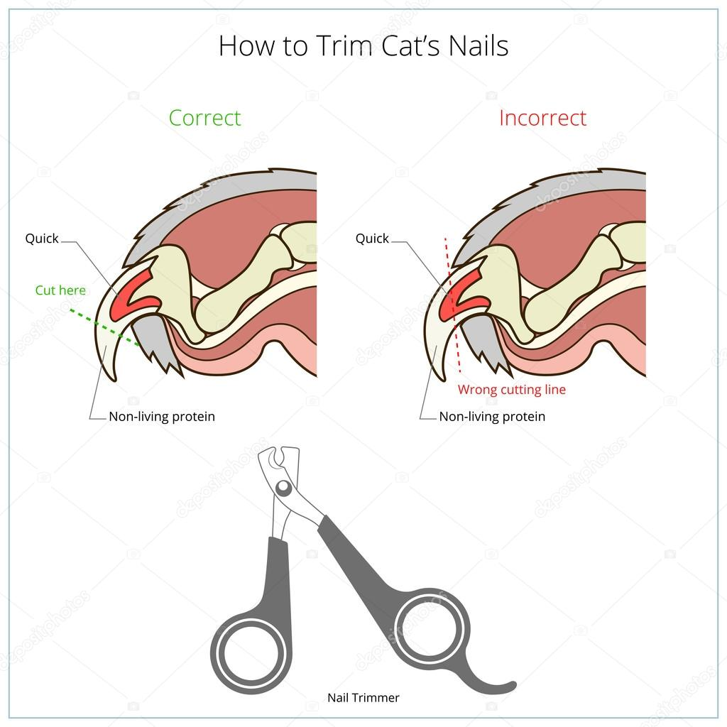 How to cut cat nail veterinary instruction vector — Stock Vector ...