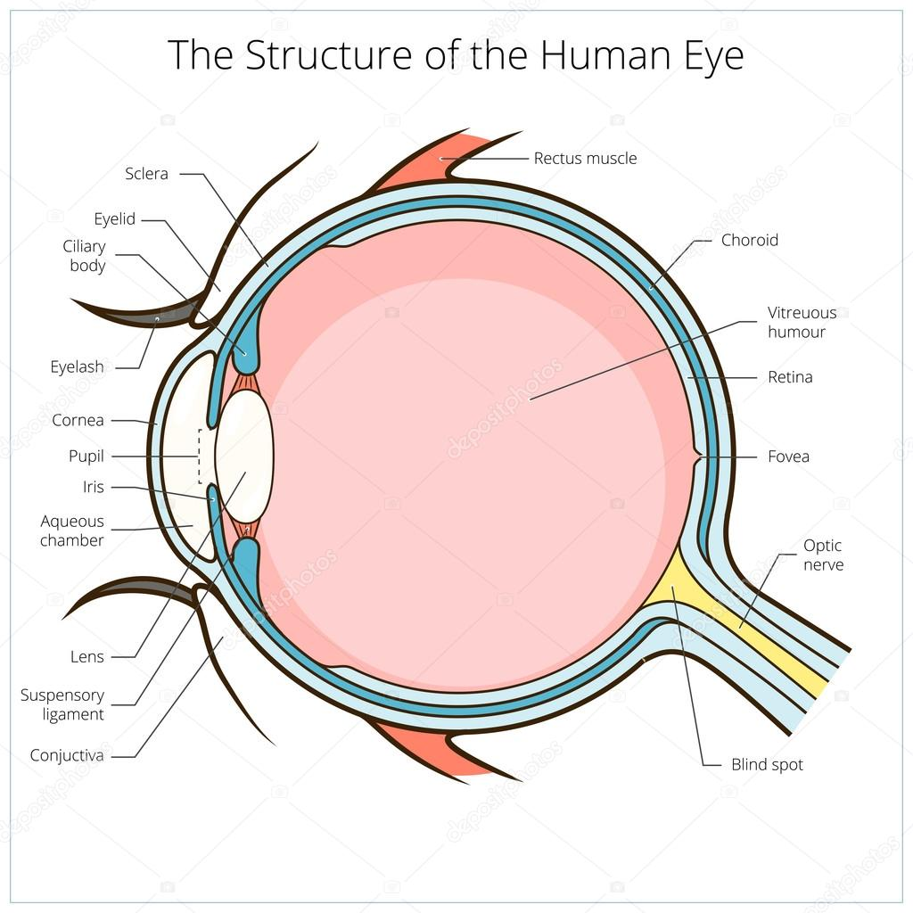 Human eye structure scheme vector stock vector alexanderpokusay human eye structure scheme medical vector illustration educational material vector by alexanderpokusay ccuart Choice Image