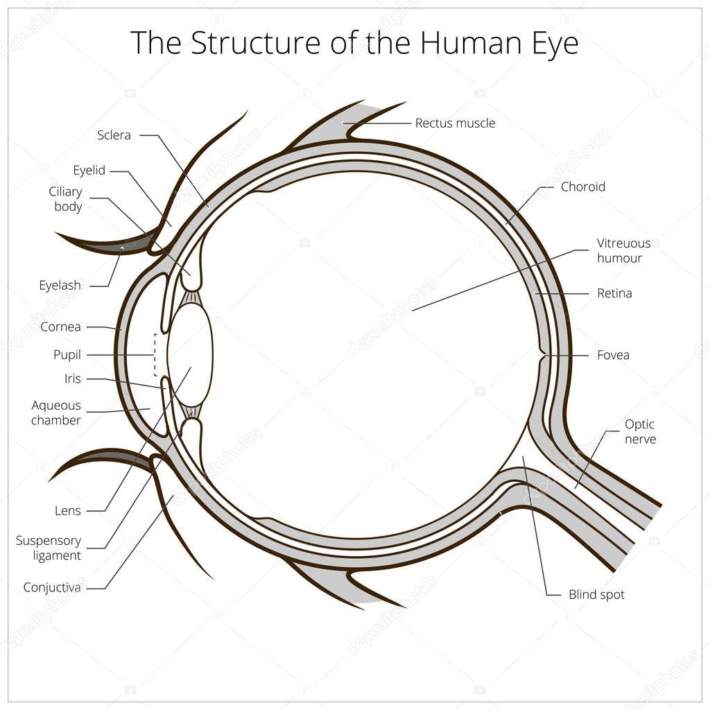 Menschliche Auge Struktur Schema Vektor — Stockvektor ...