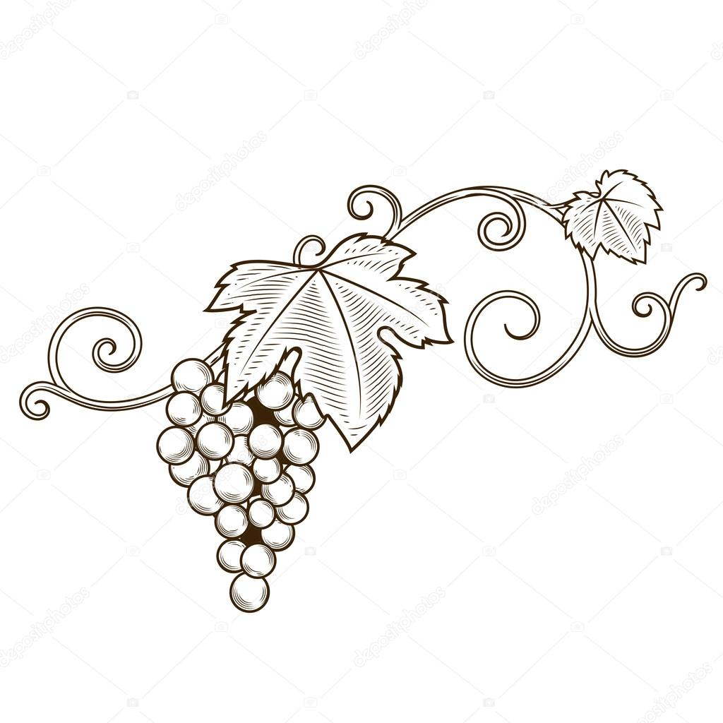 Grape vine branches ornament vector — Stock Vector ... for Drawing Grape Vines  117dqh