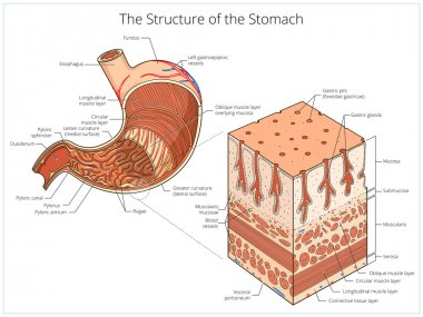 Structure of stomach medical educational vector