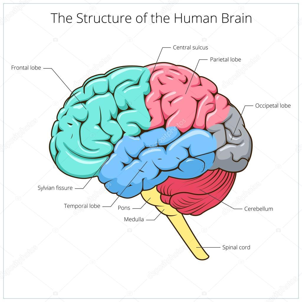 Struktur des menschlichen Gehirns schematische Vektor — Stockvektor ...
