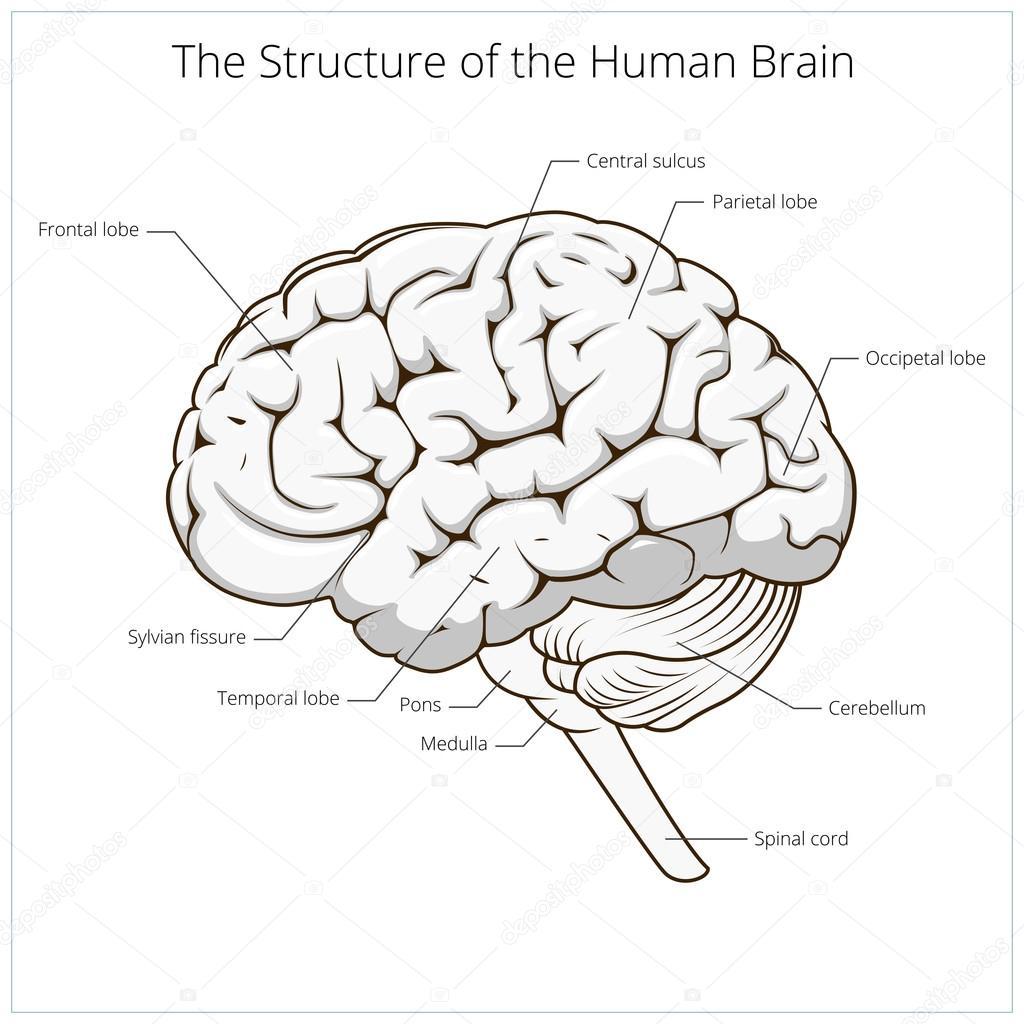 Structure Of Human Brain Schematic Vector Stock Vector