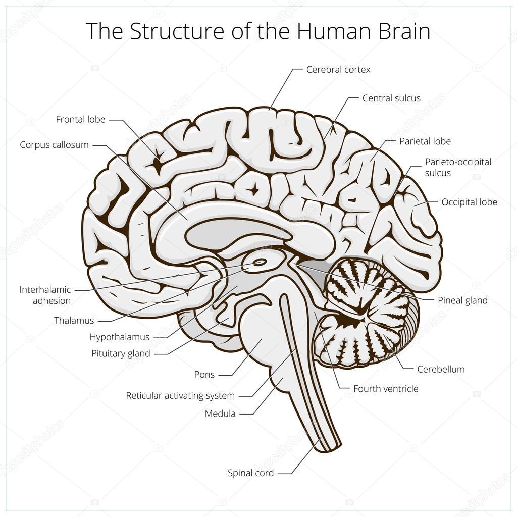 Estructura del vector esquemático de la sección de cerebro humano ...