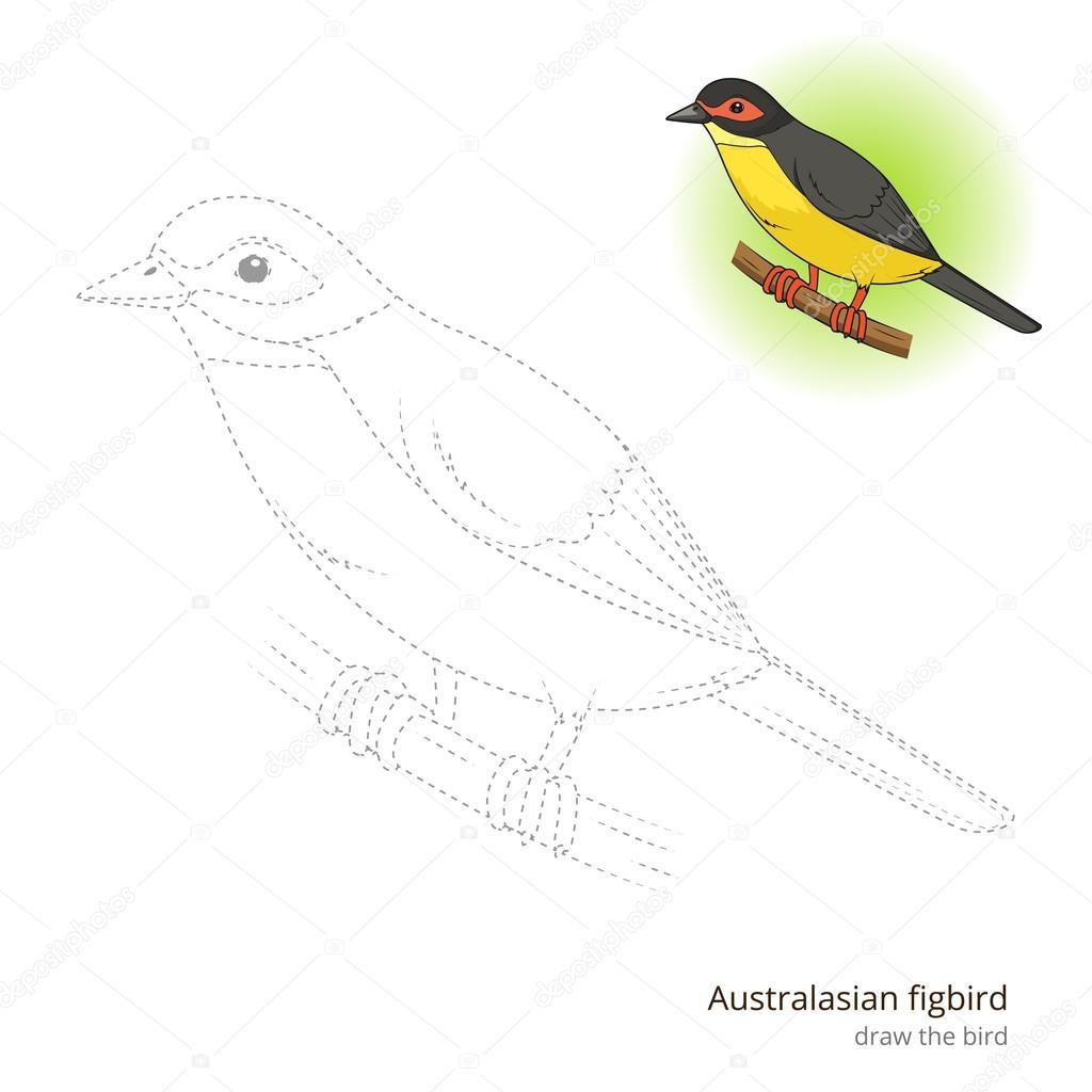 Australske Figbird Ptak Se Naucit Kreslit Vektorove Stock Vektor