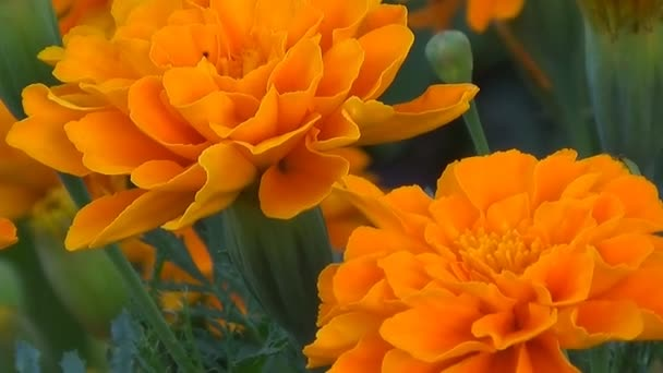 Flowers marigolds stand motionless