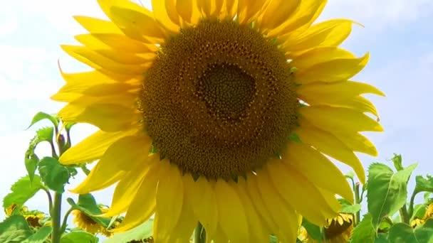 Zelená pole a slunečnice s včely