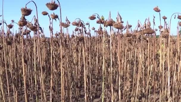 Slunečnicová pole postižených suchem