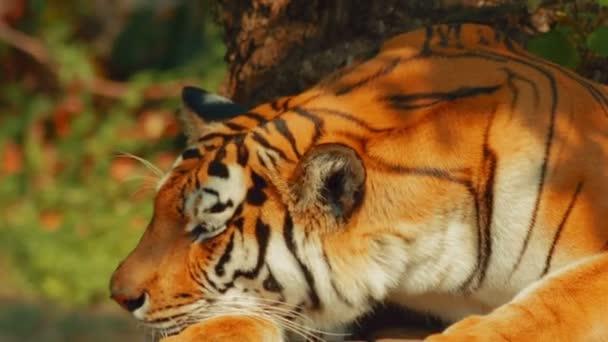 Tygr ussurijský, zíval