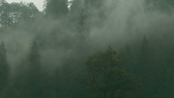 Foresta di pini con foschia e la nebbia in Transilvania, Romania