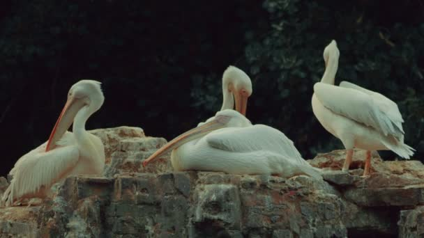 Skupina pelikánů Preening peří