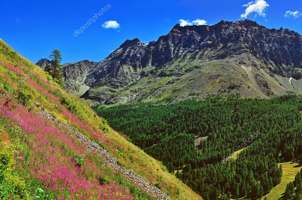 Alpien mountains with violet flowers