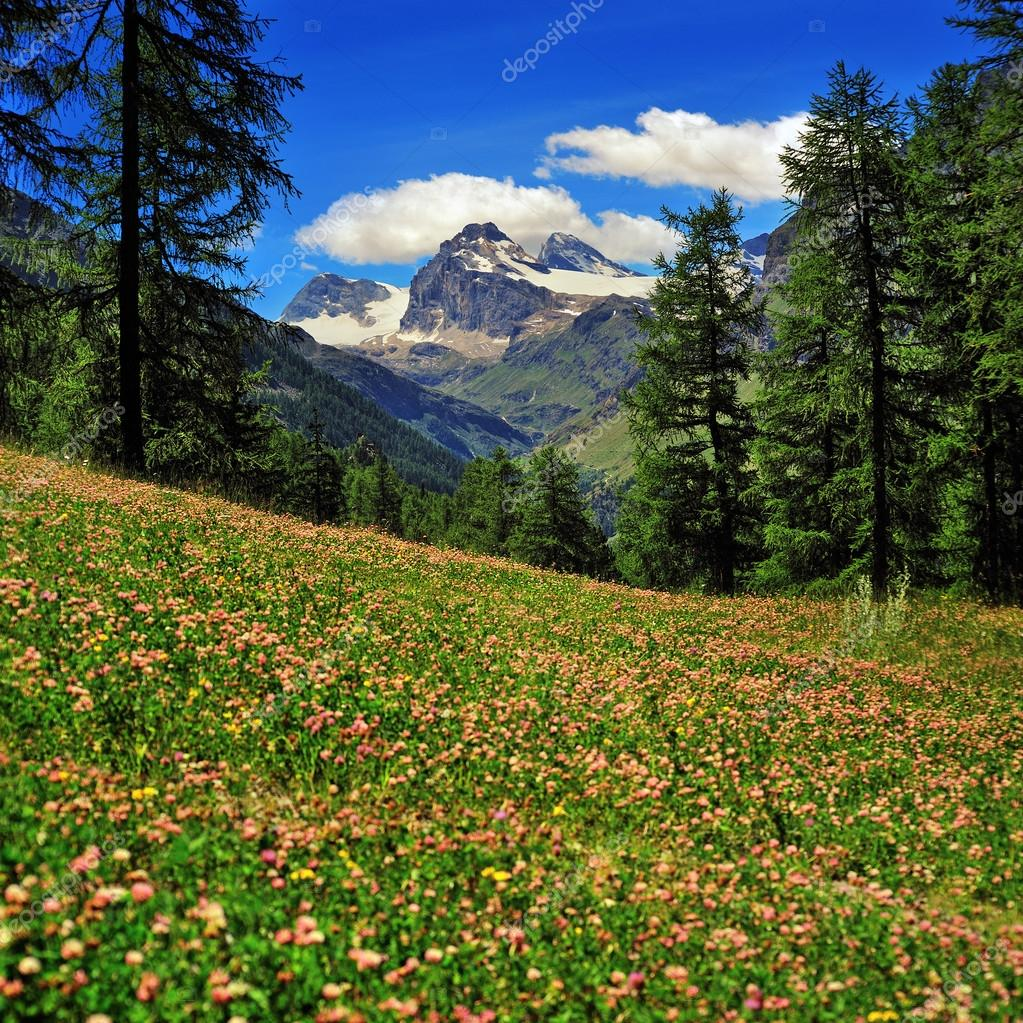 alpien meadow of clover with mountains