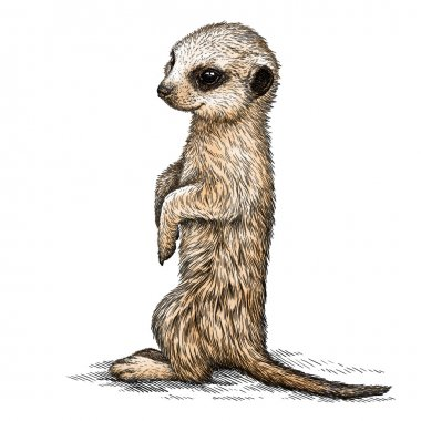 engrave meerkat illustration