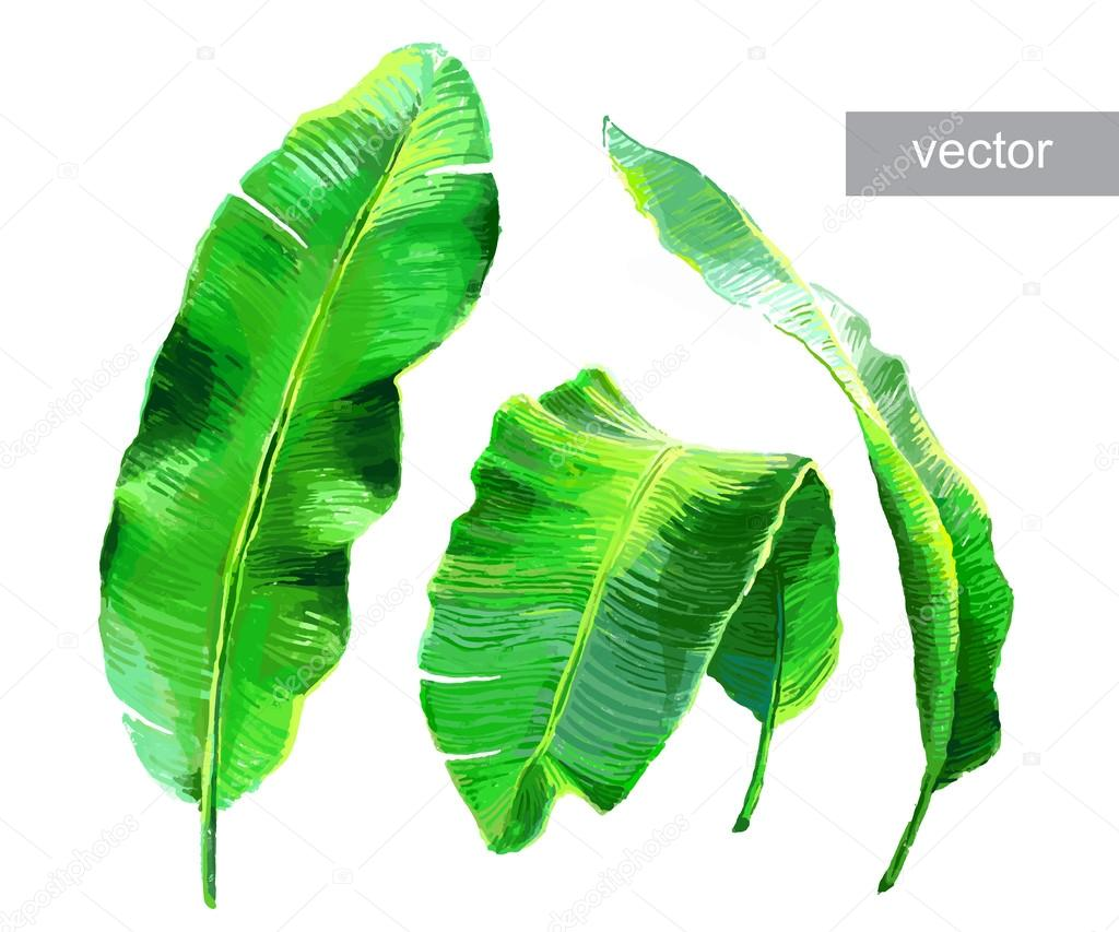 Palm banana leaves isolated
