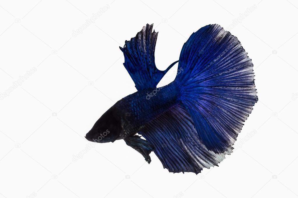 dark blue betta fish stock photo suwatsir 105261098