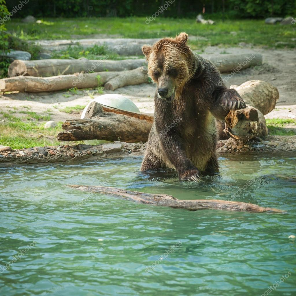 grizzly bear shakes water after a swim in the lake at the zoo