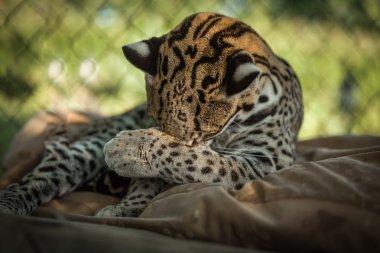 Leopardus pardalis (ocelot) enjoy a beautiful sunny day