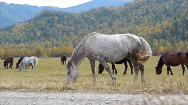 koně v Altaji
