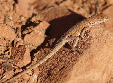 Plateau Side-blotched Lizard (Uta stansburiana uniformis), Adult