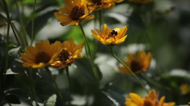 Bumble Bee mouchy z květu na květ