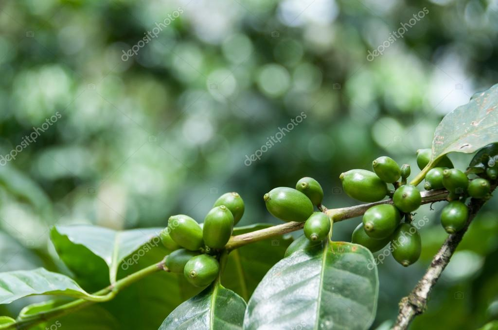 Green coffee beans with leaves on branch at a plantage in Nicaragua
