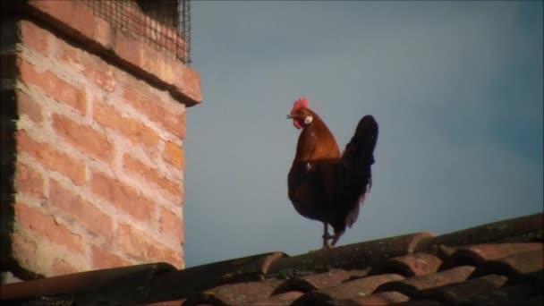 Gallo sul tetto