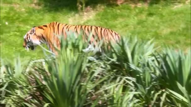 tiger walking through the vegetation