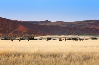 Herd of Gemsbok in Sossusvlei
