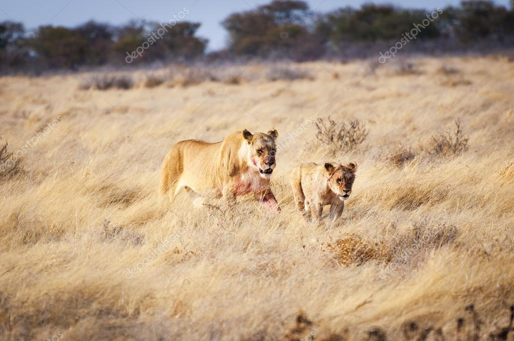 Lioness and a cub in the Etosha National Park, Namibia