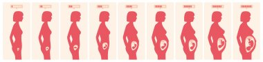 The growth of a human fetus in weeks and months in vector format stock vector