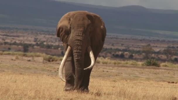 Big elephant in Amboseli park
