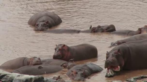 A hippo licks sweat from a friend