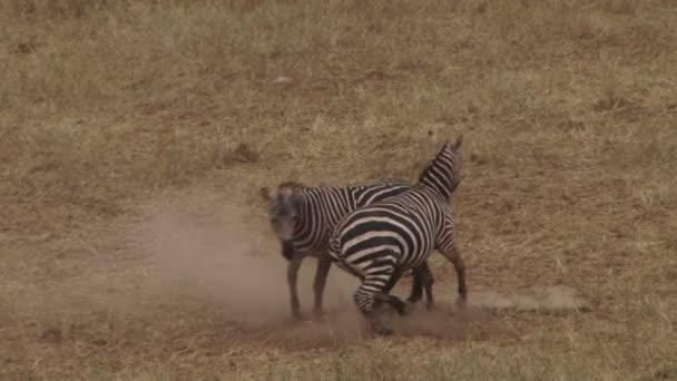 lotta violenta delle zebre