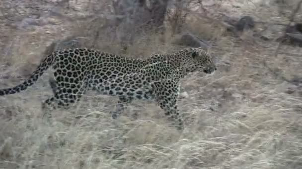A leopard freezes midstep