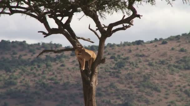 lion watches buffalos from a tree