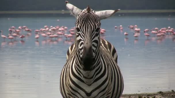 Zebra hlava se plameňáci