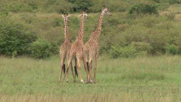 Giraffe maschi lotta per i diritti accoppiamento