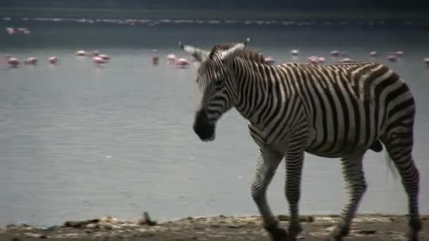 Zebra bólogat a fejét