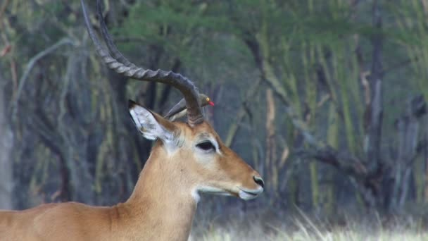 An oxpecker grooming the gazelle