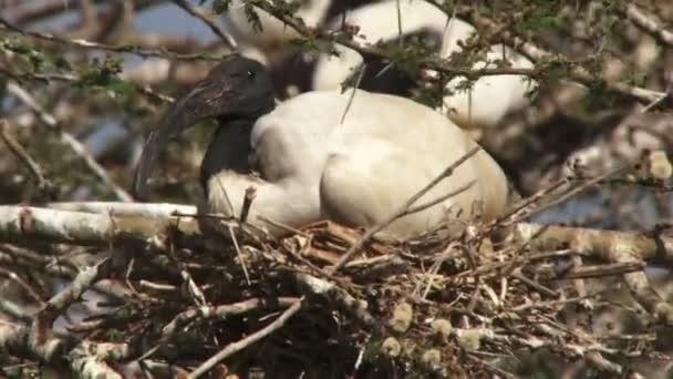 Ibis ptáky na hnízdě closeup
