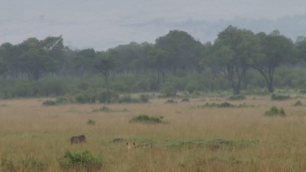 lioness hunting a warthog